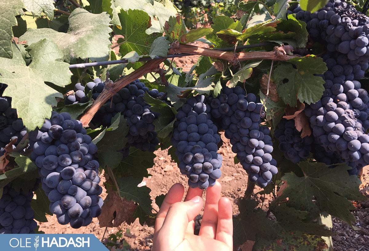 экскурсия на виноградники